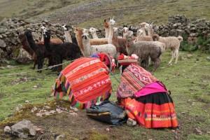Quechua familie met kudde alpaca's en lama's